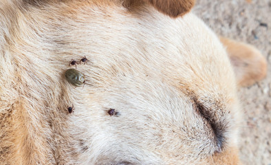 Closeup mayny ticks on the dog