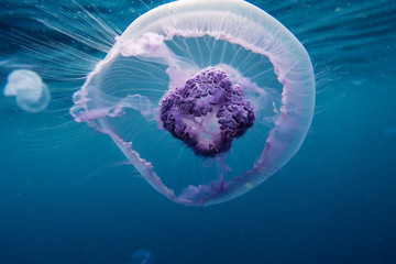 jellyfish in red sea