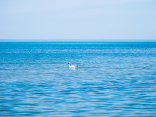 swan floating in the blue water of the Black Sea