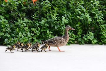 Female Mallard Duck mother with babies walking down a sidewalk