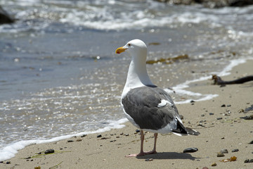 California Sea Gull on the beach watching the surf