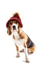 Pretty beagle dog has humorous headwear