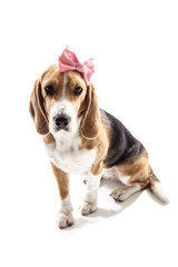 Beautiful female beagle puppy with headwear decoration