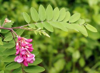 Pink flowers acacia