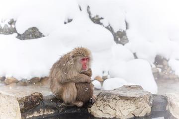 温泉のおさるさん Japanese monkey and hot spring