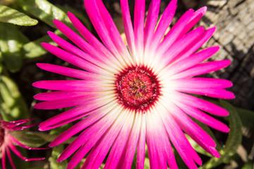 ピンクの花「マツバキク」