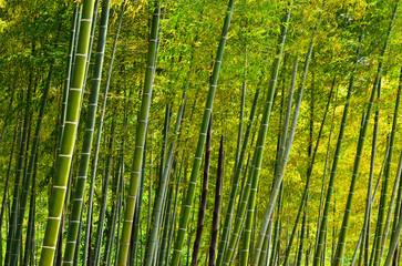Bamboo grove at Japanese garden, Kyoto Japan.