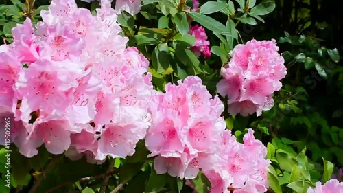 rhododendron bl ten im wind stock footage and royalty. Black Bedroom Furniture Sets. Home Design Ideas