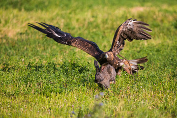 Golden eagle. Hunting