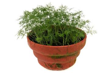 Aneth en pot