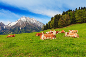 Herd of cows graze in a pasture in the Alps. Wall mural