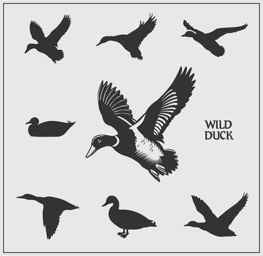 Vector set of wild ducks.