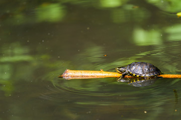 Pond Turtle Heating In The Sun On Wood Stick In Lake Water