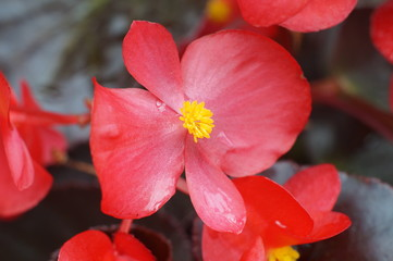 Red begonia flower's
