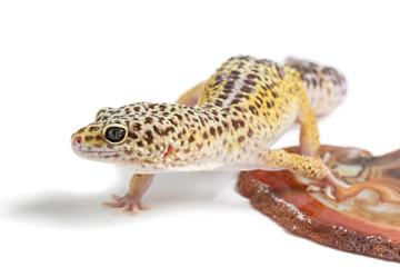 Small gicon lizard