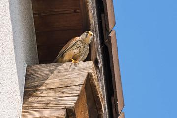 Falcon 03