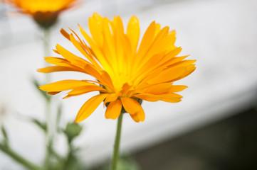 Macro Orange Petal flower