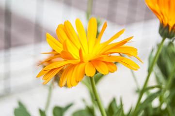 Wallpaper Macro Orange Petal Flowers on Blur background