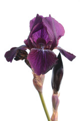 Violet iris isolated on white background