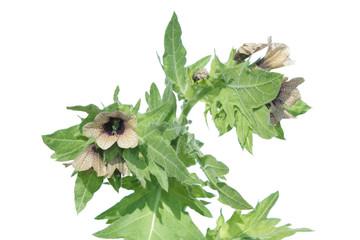 Black henbane (Hyoscyamus niger) isolated on white background. Flowering henbane