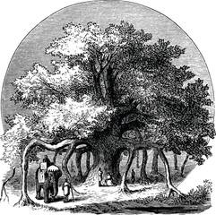 Vintage image banyan tree