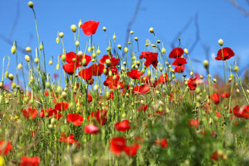 Poster Poppy field of poppies