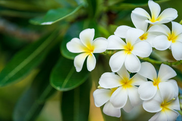 Photo sur Plexiglas Frangipanni The white frangipani with leaves. White plumeria.Plumeria flowers - White plumeria on the plumeria tree.
