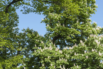 Chestnut trees in bloom