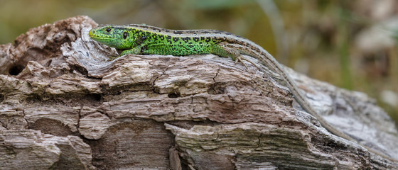 The sand lizard (Lacerta agilis) on a sunny day in nature