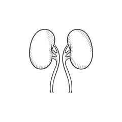 Kidney sketch icon.