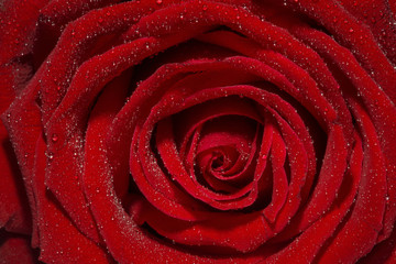 A close up macro of a beautiful red rose.