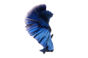 Capture the moving moment of blue siamese fighting fish isolated