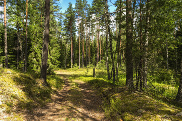 Summer Coniferous forest and road