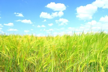 Wheat field and blue sky with white clouds in background