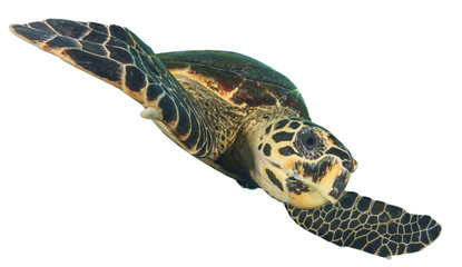 Sea Turtle cut out isolated white background (Hawksbill)