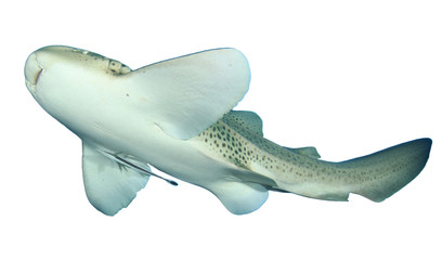 Leopard Shark cut out isolated white background