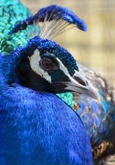 Beautiful blue male Indian peacock head closeup