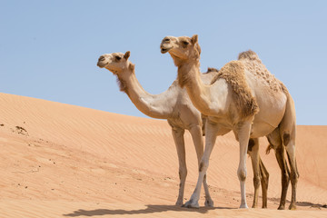 Two camels in the Arabian desert with blue sky