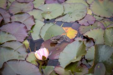 Frosch auf Seerosen-Blätter