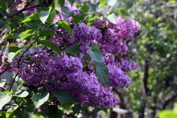 big beautiful good branch of purple lilac flower with green leav