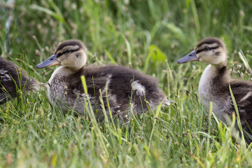 Two little duckling walking on the grass