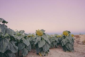 Wilting sunflowers in field