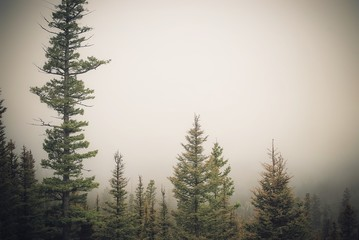 foggy tree line on a mountain top