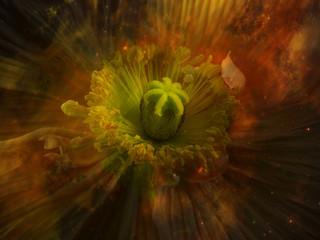 Poppy flower, close-up
