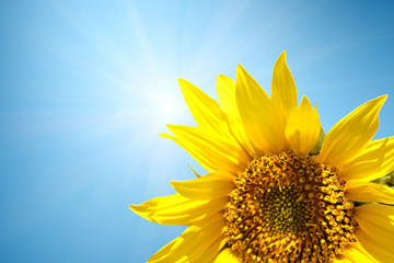 sunflower with sunlight in summer