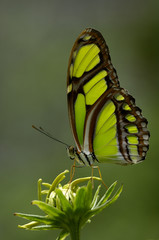 Close up of malachite butterfly perched on flower