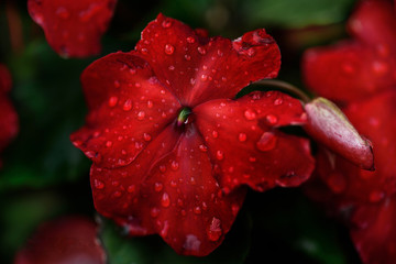 Red flower impatiens with dew drops