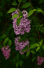 Purple lilac flowers on plants