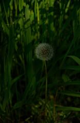 Dandelion seed clock, still life