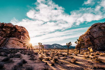 Barren landscape with Joshua trees at sunrise